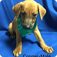 Adopt A Pet :: Copper - Buffalo, NY