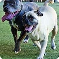 Adopt A Pet :: Pebbles & Puggles, Bff's! - Snohomish, WA
