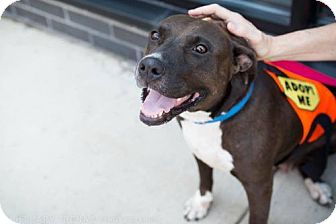 Pit Bull Terrier Mix Dog for adoption in Brooklyn, New York - Delta Burke