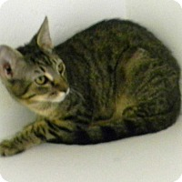 Domestic Shorthair Cat for adoption in Paradise, California - Nash
