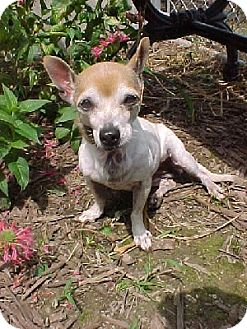 Chihuahua Mix Dog for adoption in Aurora, Illinois - Penny