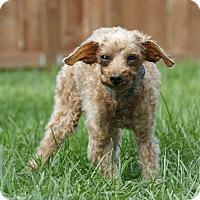 Adopt A Pet :: SNUGGLE - Ile-Perrot, QC