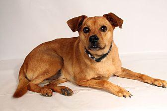 Terrier (Unknown Type, Medium) Mix Dog for adoption in St. Louis, Missouri - Marley Terrier