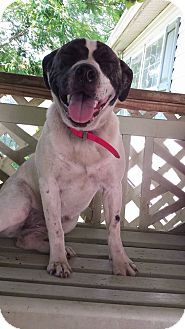 Boxer/Labrador Retriever Mix Dog for adoption in Williamston, North Carolina - Dottie