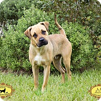 Labrador Retriever Mix Dog for adoption in Jacksonville, Florida - JoJo