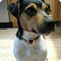 Jack Russell Terrier Mix Dog for adoption in Traverse City, Michigan - WINSTON