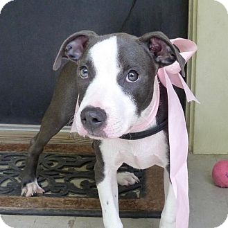 American Pit Bull Terrier Mix Puppy for adoption in Baton Rouge, Louisiana - Harper