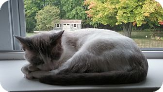 Snowshoe Cat for adoption in Cedar Springs, Michigan - Beethoven