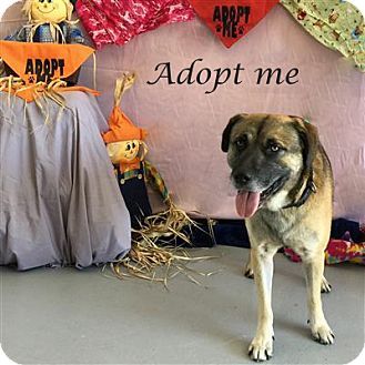 German Shepherd Dog/Labrador Retriever Mix Dog for adoption in Concord, North Carolina - Plymouth