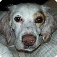 English Setter Dog for adoption in Pine Grove, Pennsylvania - GIRL RINGO
