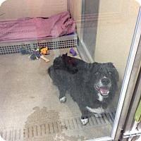 Border Collie/Corgi Mix Dog for adoption in Janesville, Wisconsin - Excalibur
