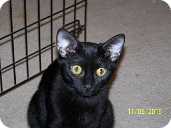 Domestic Shorthair Cat for adoption in Tucson, Arizona - Tom