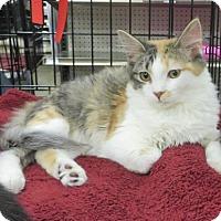 Domestic Longhair Kitten for adoption in Ellicott City, Maryland - .Alli