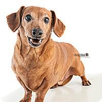 Adopt A Pet :: Presley - Tustin, CA