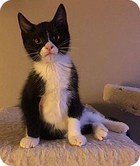 Domestic Shorthair Cat for adoption in Jerseyville, Illinois - Salem