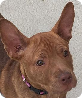 Pit Bull Terrier Mix Puppy for adoption in Mission Viejo, California - Bella
