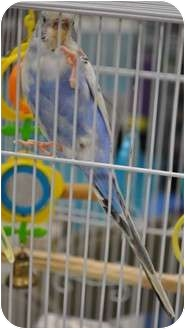 Budgie for adoption in Shawnee Mission, Kansas - Rain