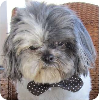 shih tzu rescue va shih tzu dog for adoption in suffolk virginia herbie va 3867