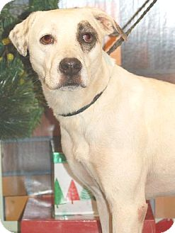 Catahoula Leopard Dog/Dalmatian Mix Dog for adoption in Orlando, Florida - Freckle