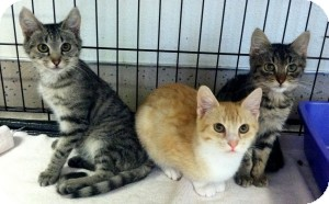 Domestic Shorthair Kitten for adoption in Red Bluff, California - Presley