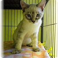 Adopt A Pet :: Chatzy - Shelton, WA