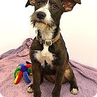 Adopt A Pet :: Brooklyn - Mocksville, NC
