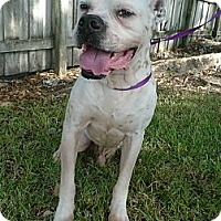 Adopt A Pet :: Stitch - Miami, FL
