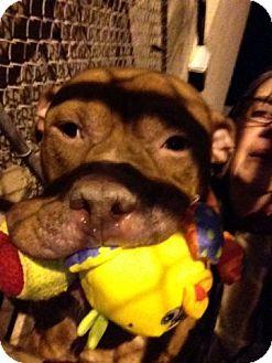 American Pit Bull Terrier Mix Dog for adoption in Manhattan, New York - Esteban