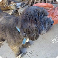 Shih Tzu/Lhasa Apso Mix Dog for adoption in San Diego/Imperial Beach, California - Alabama