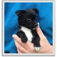 Adopt A Pet :: Charlene - Mechanicsburg, PA