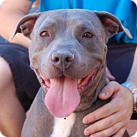 American Bulldog Mix Dog for adoption in Las Vegas, Nevada - Victoria