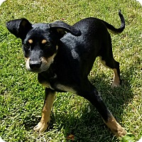 Manchester Terrier/English Toy Spaniel Mix Dog for adoption in Houston, Texas - Lottie