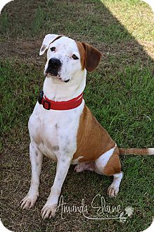 American Bulldog Mix Dog for adoption in Pilot Point, Texas - DUKE