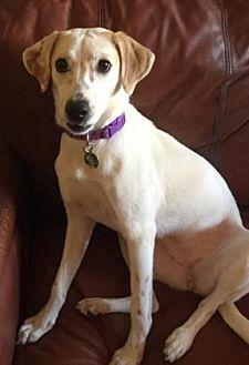 Australian Shepherd/Labrador Retriever Mix Puppy for adoption in Scottsdale, Arizona - Maui