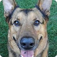 German Shepherd Dog Dog for adoption in Wayland, Massachusetts - Lemme