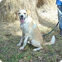 Labrador Retriever/Spaniel (Unknown Type) Mix Dog for adoption in Seattle, Washington - Toby