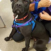 Adopt A Pet :: Jonah - Richland Hills, TX