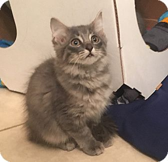 Domestic Longhair Kitten for adoption in Cleveland, Ohio - Emmy