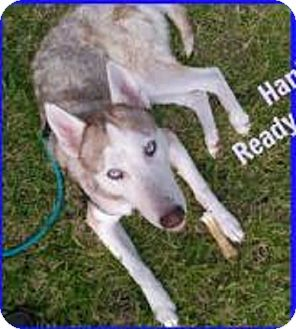 Husky Dog for adoption in San Antonio, Texas - A393161 Hank
