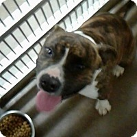 Pit Bull Terrier Mix Dog for adoption in Lake Jackson, Texas - Tubby