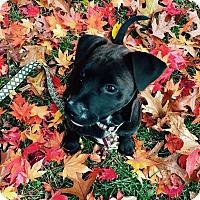 Labrador Retriever Mix Puppy for adoption in GREENLAWN, New York - Priscilla