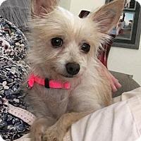 Norfolk Terrier Mix Dog for adoption in Mesa, Arizona - Cassie