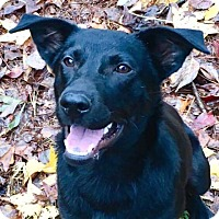 Flat-Coated Retriever/Labrador Retriever Mix Dog for adoption in CUMMING, Georgia - Clementine