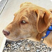 Adopt A Pet :: Peter - North Las Vegas, NV