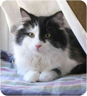 Domestic Longhair Cat for adoption in Cincinnati, Ohio - Darcy