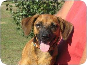 Beagle Mix Dog for adoption in Westport, Connecticut - Jack