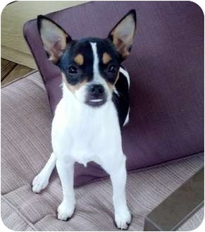 boston terrier texas faith adopted puppy longview tx boston terrier rat 9039