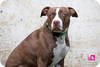 American Pit Bull Terrier Mix Dog for adoption in Des Peres, Missouri - Raegan