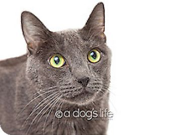Russian Blue Cat for adoption in Tempe, Arizona - Charlie
