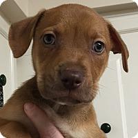 Adopt A Pet :: Calypso#03M - Orlando, FL